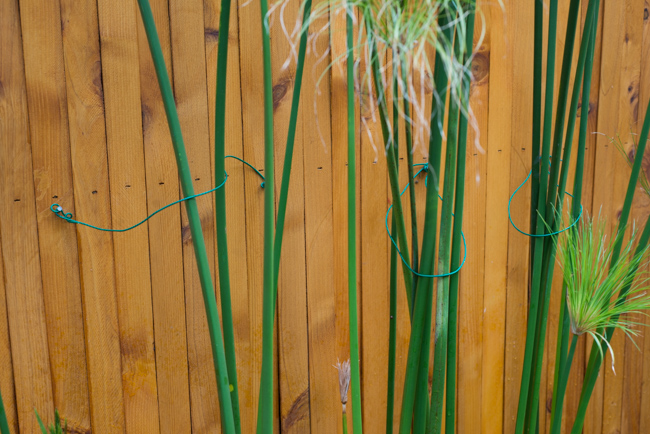Cyperus papyrus-the-horticult-RMB_3679