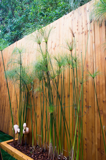 Cyperus papyrus-the-horticult-RMB_3684