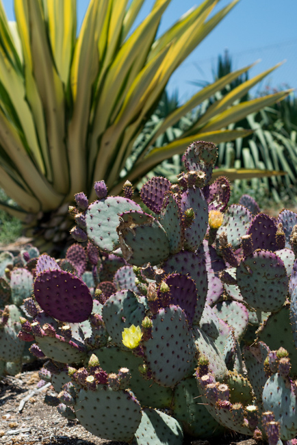 Opuntia chlorotica 'Pinta Rita'