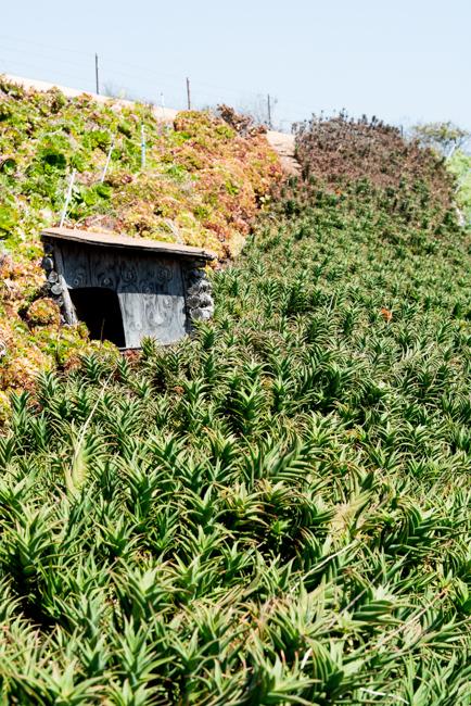 Aloe ciliaris 'Firewall'