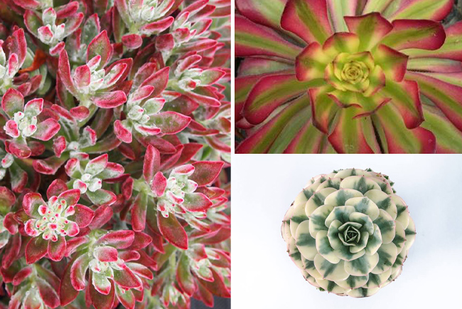 New succulents at 2014 Succulent Celebration at Waterwise Nurseries