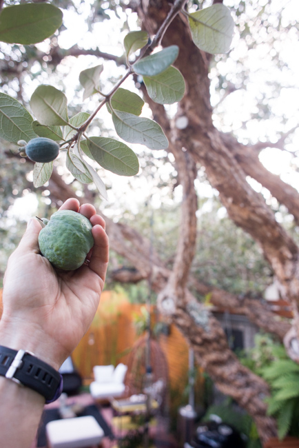 Fruit hunting in our backyard.
