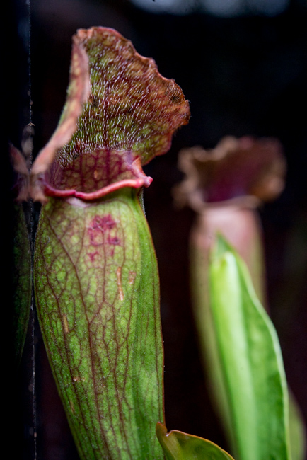 Fancy Sarracenia Hybrid (Medium)