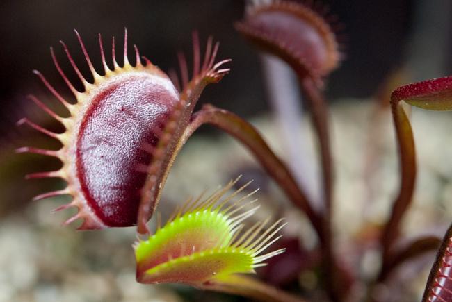 Dionaea muscipula 'Green Dragon'