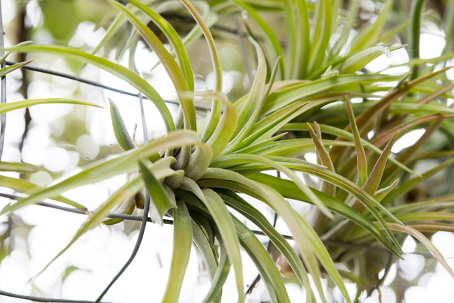 Quick-Invisible-Airplant-Frame-ryanbenoitphoto-thehorticult-RMB_7693