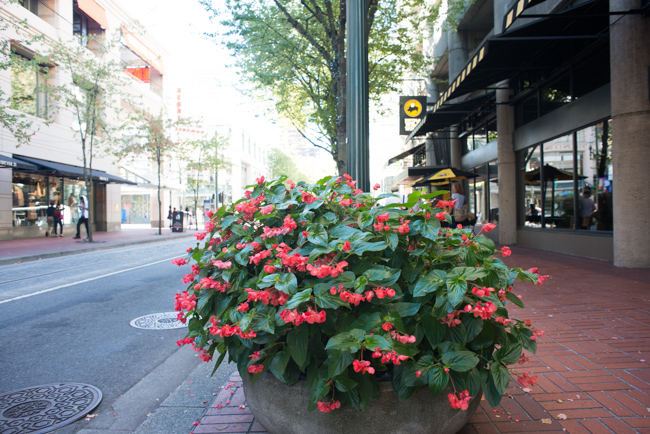Tuberous Begonias in street planters.