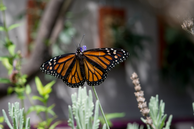 Attracting monarch butterflies