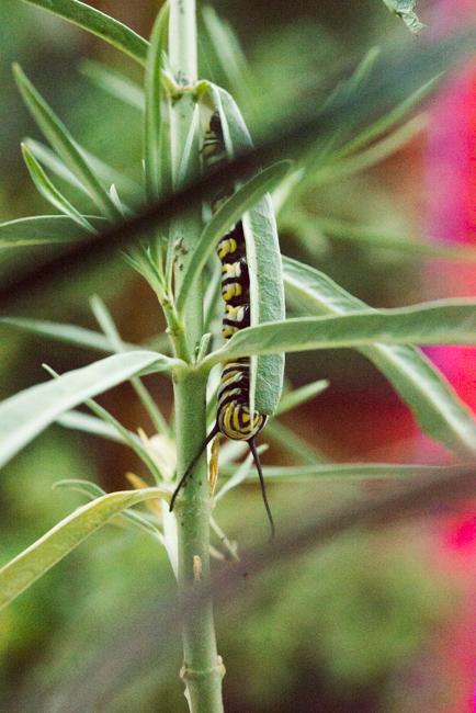 Attracting monarch butterflies