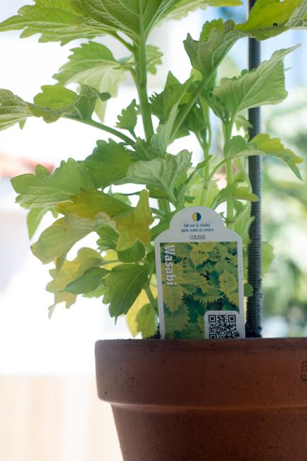 Coleus hybrid 'Wasabi'
