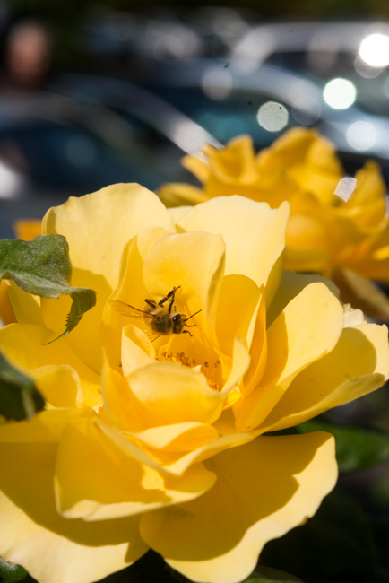 A bee in a rose outside the International Rose Test Garden in Portland, OR.