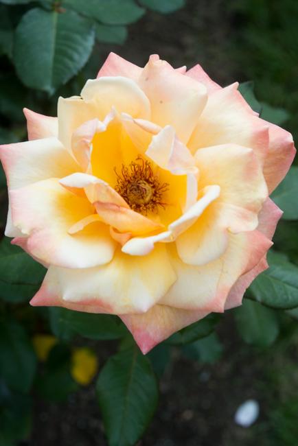 Tahitian Sunset. Hybrid Tea. International Rose Test Garden.