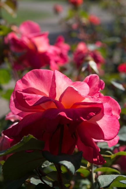 """Sedona"" Hybrid Tea. International Rose Test Garden in Portland, OR."