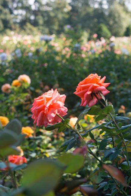 Shreveport Grandflora rose
