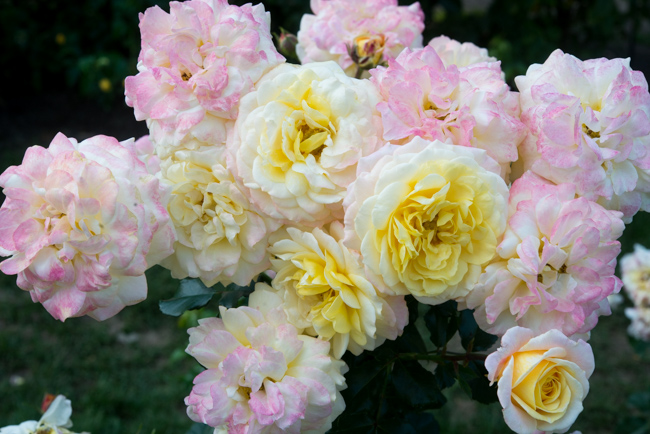Rose of Hope Floraibunda at the International Rose Test Garden