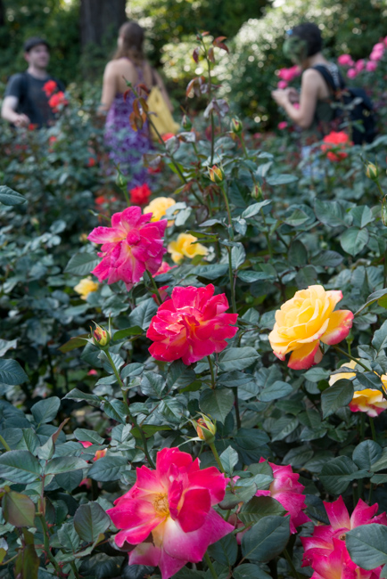 Rose Test Garden Rose