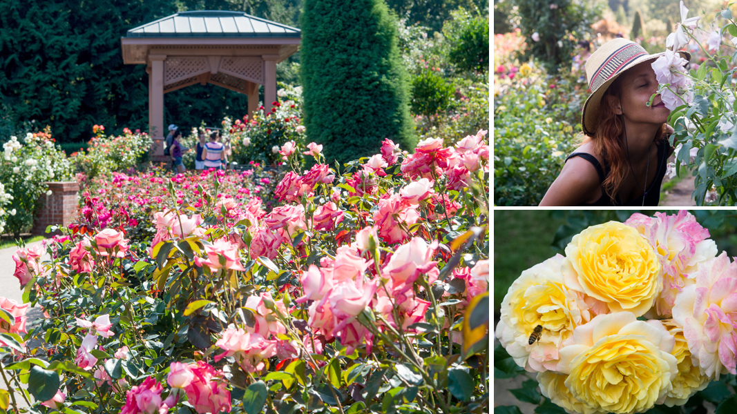 Gold Medal Petals Our Visit To The International Rose Test Garden