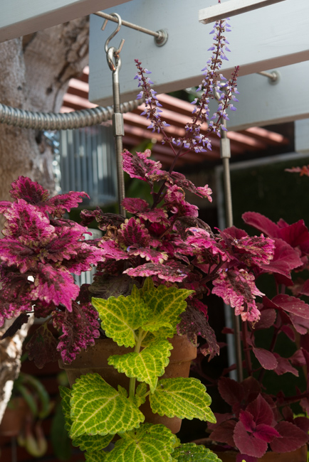 Coleus hybrid 'Stained Glassworks Copper'