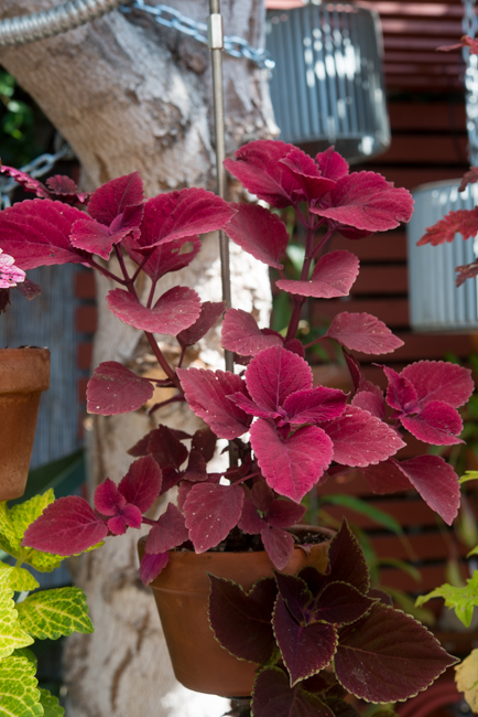 Coleus hybrid 'Redhead'