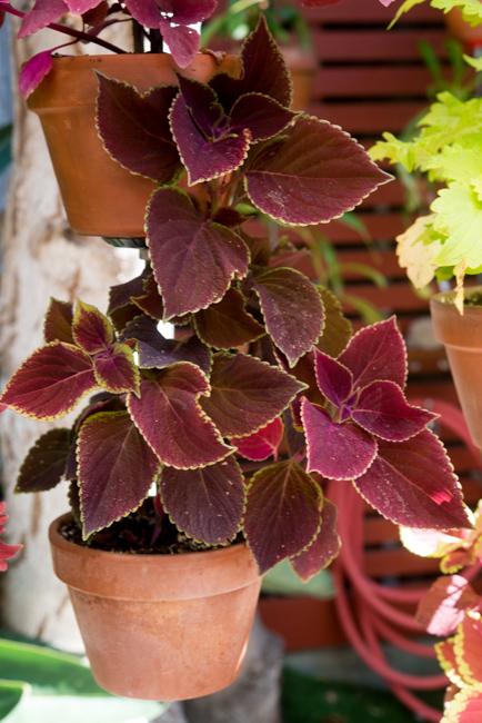 Coleus hybrid 'Vino'