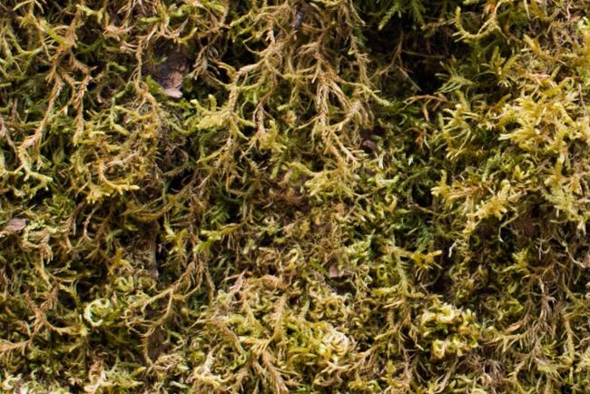 Golden short capsuled moss (Brachythecium frigidum)