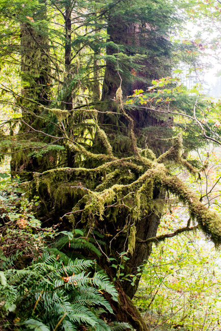 Goose-necked moss or Rhytidiadelphus triquetrus, Electrified cat's-tail moss