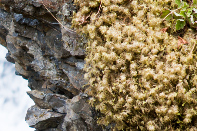 Plume moss (Dendroalsia abietina)