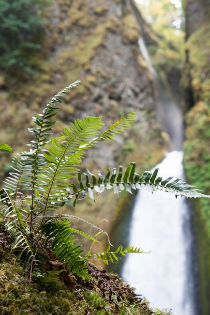 Western sword fern.