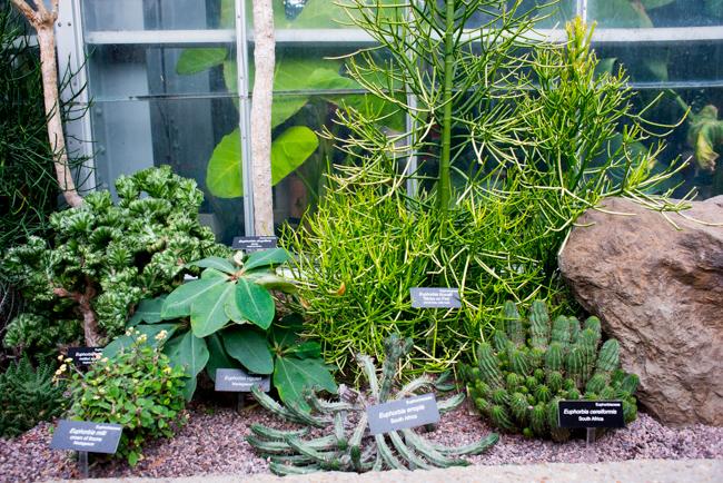 US Botanic Garden - Euphorbias