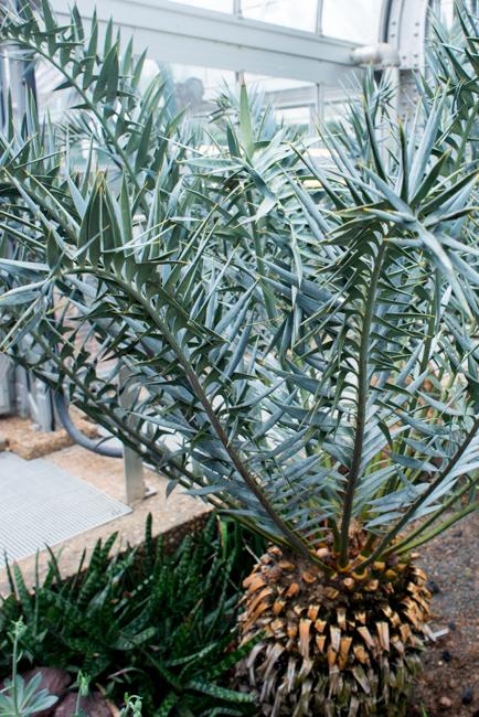 US Botanic Garden - Euphorbias - World Deserts Garden