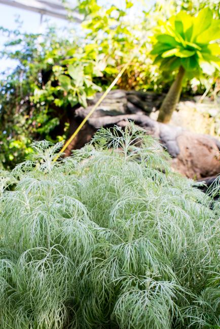 "Artemisia mauiensis or Maui wormwood. Hawaiian name is ""hinahina"""