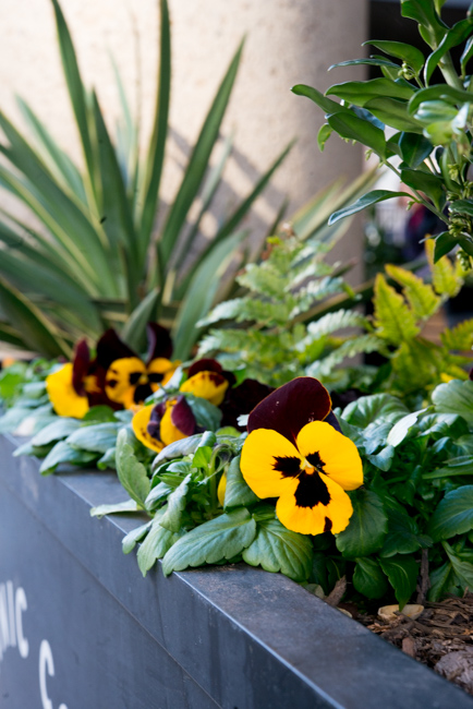Winter pansies of Washington DC.