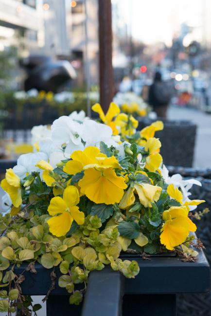 Winter pansies of Washington DC.