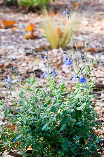 Germander sage (Salvia chamaedryoides)