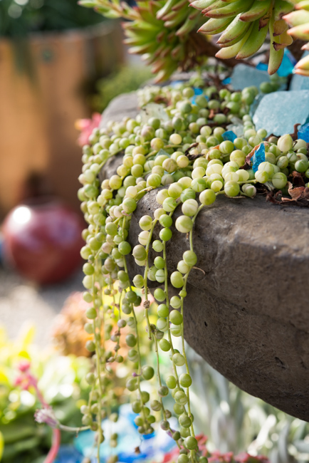 variegated string of pearls, rare succulent