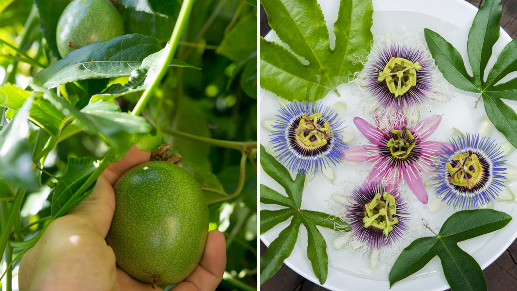 Passiflora update - The Horticult