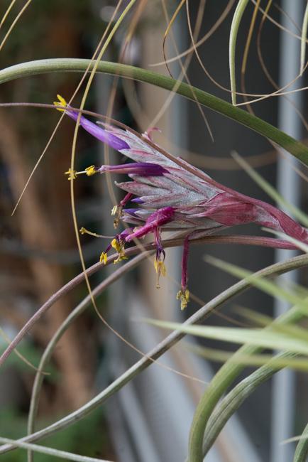 A Tillandsia bulbosa bloom