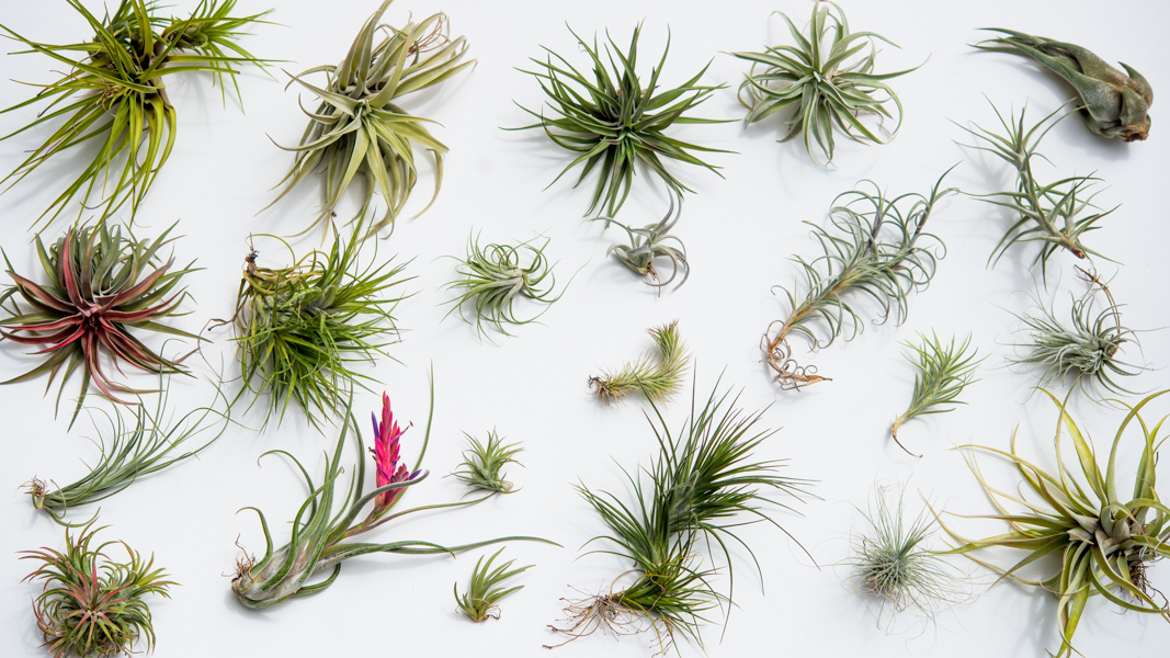 Breathless An Air Plant Update And Our Ehow Tutorial The Horticult