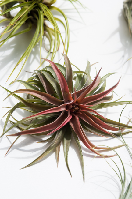 Tillandsia update in our garden - The Horticult