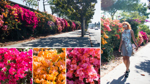 Bougainvillea on Beverly