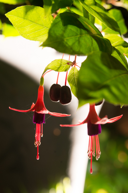 Fuchsia - The Horticult