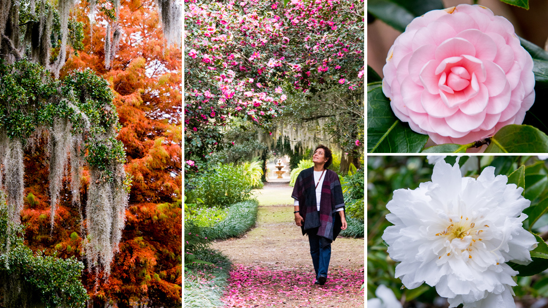 Inside The Camellia Belt A Visit To Airlie Gardens In