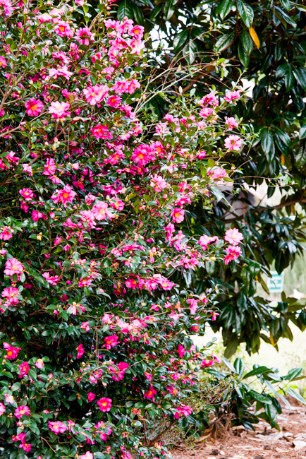 Inside the camellia belt a visit to airlie gardens in wilmington airlie gardens visit mightylinksfo