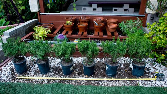 Rosemary hedge