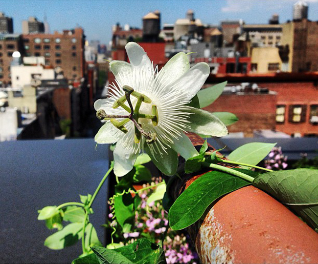 Passiflora caerulea (white form) on a roof top in nyc.