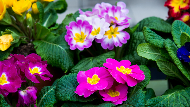 A Primrose Primer: Caring for a Collection of Early Bloomers | The ...