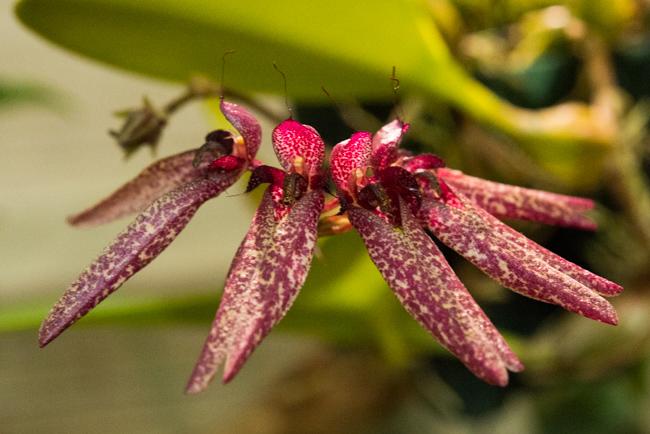 Bulbophyllum longifolrum