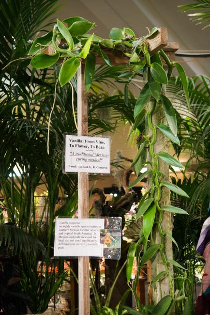 Vanilla planifolia. Vanilla bean is the cured seed pod of the vanilla orchid.