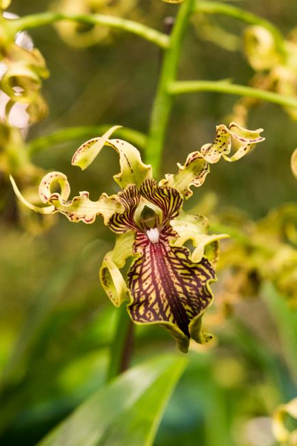 Dendrobium 'Adora Nishii'
