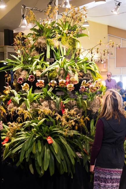 Huntington Botanical Gardens display featuring all Paphiopedilums.