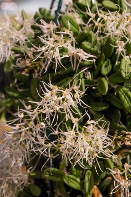 Dendrobium linguiforme.